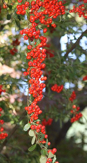 Pyracantha crenatoserrata berries.jpg