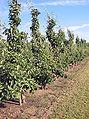 Pyrus communis (Perenboomgaard).jpg