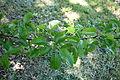 Pyrus ussuriensis - Arnold Arboretum - DSC06845.JPG