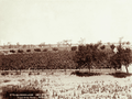 Queensland State Archives 5187 Grape vines Roma 1899.png