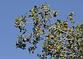 Quercus coccifera - Kermes oak, Adana 2016-11-27 01-1.jpg