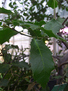 Quercus coccifera - Wikipedia, la enciclopedia libre