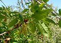 Quercus infectoria ssp veneris kz8.jpg