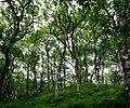 Quercus petraea forest2.jpg