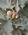 Quercus pyrenaica 20150812d.jpg