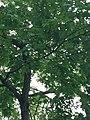 Quercus rubra (Red Oak) C36-2.jpg