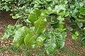 Quercus semecarpifolia kz02.jpg