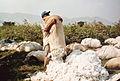 Récolte du coton à El Carmen - Pérou 03.JPG