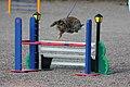 Rabbit Show Jumping - Easy Class.jpg