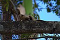 Rabipelado Didelphis Marsupialis (28574977).jpeg