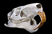 Cranio di Myocastor coypus