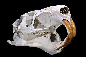 Coypu - Skull