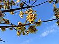 Rami fioriti di calicanto d'inverno.JPG
