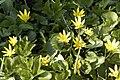 Ranunculus.ficaria2.-.lindsey.jpg