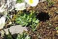 Ranunculus alpestris (29740420167).jpg