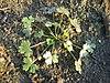 Ranunculus sceleratus grundblaetter.jpeg