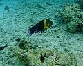 Ras Mohamed funy eye fish.jpg