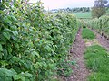 Raspberry Canes, Coupar Angus - geograph.org.uk - 828775.jpg