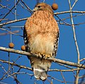 Red-Shouldered Hawk. 12-18-13.9.jpg