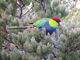 Red-capped Parrot - James Mustafa.jpg