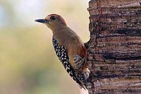 Red-crowned woodpecker (Melanerpes rubricapillus rubricapillus) male.jpg