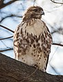 Red-tailed hawk in Central Park (92541).jpg