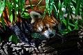 Red Panda (37500379831).jpg