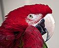 Red parrot head1 (8304632215).jpg