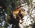 Red squirrel. Tamiasciurus hudsonicus - Flickr - gailhampshire (2).jpg