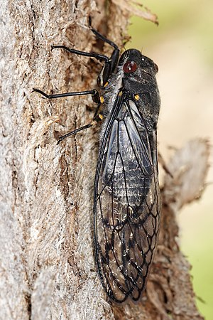 "The Australian ""Red Eye"" cicada"