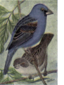 Reed-blue-grosbeak.png