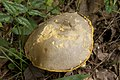 Retiboletus ornatipes 10.jpg