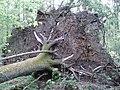 Rezerwat ścisły w Puszczy Białowieskiej 3.jpg