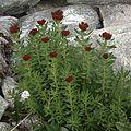 Rhodiola integrifolia habitus.jpg