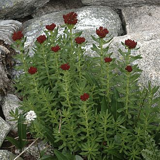 Rhodiola integrifolia - Image: Rhodiola integrifolia habitus