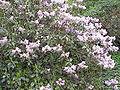 Rhododendron aechmophyllum1.jpg