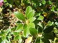 Rhododendron hirsutum DSCF4246.JPG