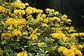 Rhododendron luteum kz10.jpg