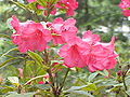 Rhododendron repens1.jpg