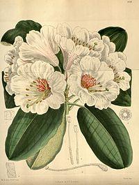 Rhododendron serotinum 146-8841.jpg