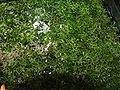 Riccia fluitans 1 (Piotr Kuczynski).jpg
