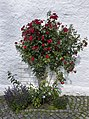 Ringve botaniske hage foto-Åge Hojem, NTNU Vitenskapsmuseet dsc9312 (15284015511).jpg