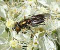 Riponnensia splendens (female).jpg