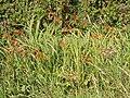 Roadside Montbretia (Crocosmia), Winnards Perch - geograph.org.uk - 221660.jpg