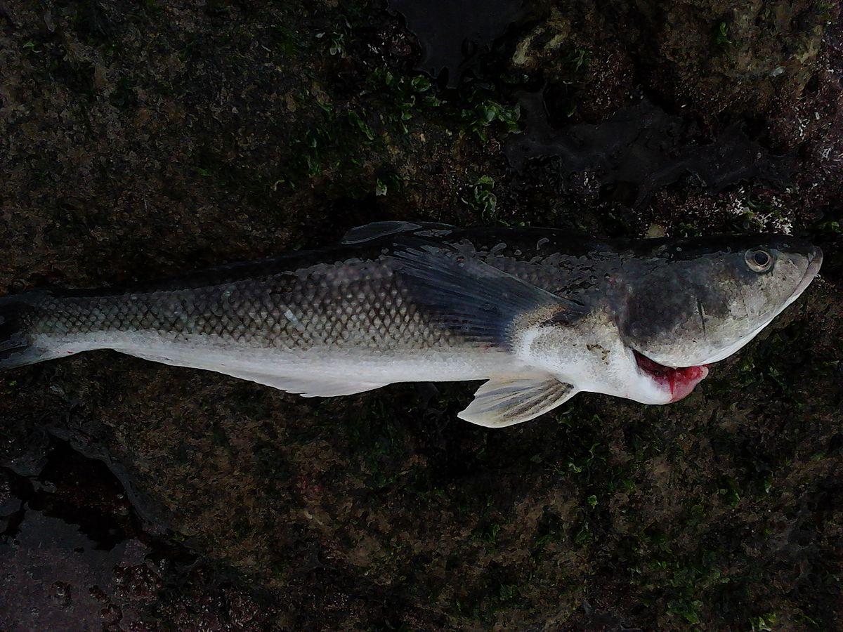 Eleginops maclovinus wikidata for Robalo fish in english