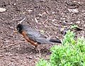 Robin smells a worm - panoramio.jpg