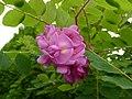 Robinia akacjowa. Grochodrzew. 06.jpg