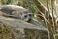 Rock Hyrax (Procavia capensis) (32298266061).jpg
