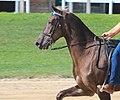 Rocky Mountain Horse KHP.jpg