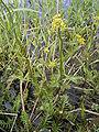Rorippa amphibia plant.jpg